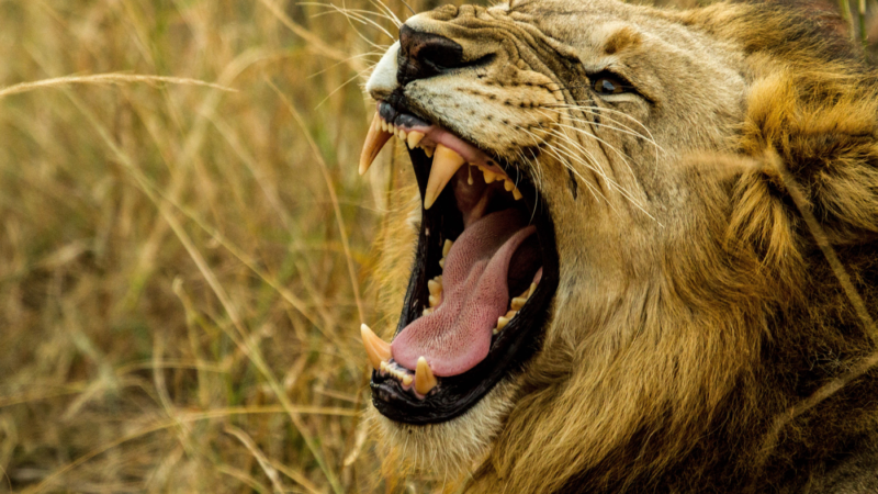 Animal growls that are slowed, pitched down and run through effects