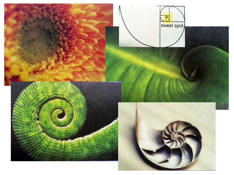 Montage of various Divine Proportion subjects in nature - plants, seashells, lizard tail