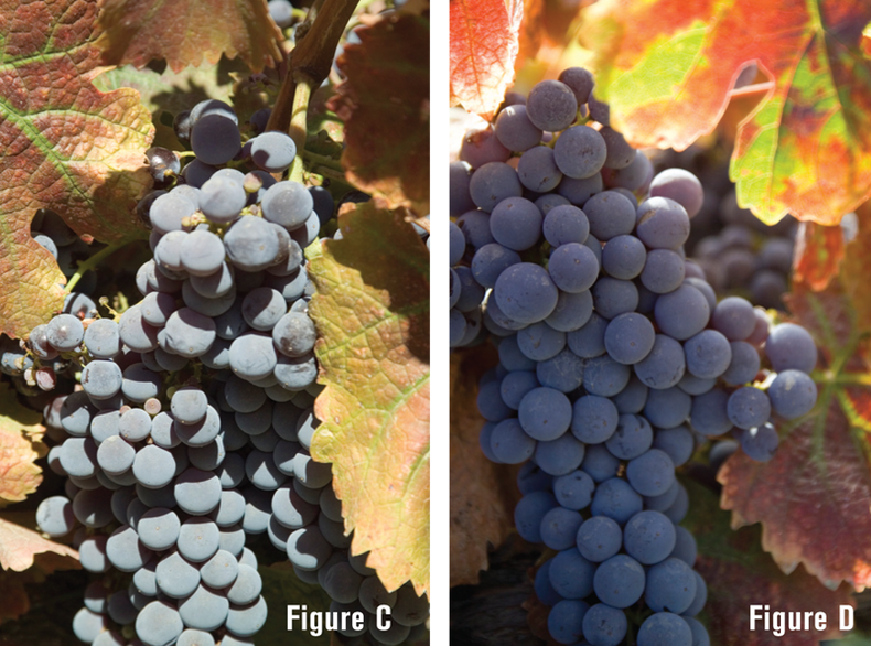 Side-by-side shots of grape clusters. One is flat and has bland lighting while the other is more dynamic with texture and backlighting.